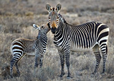 Cebra de montaña / mountain Zebra, South Africa.