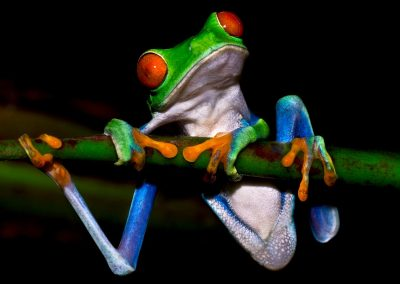 Rana ojos rojos / red-eyed tree frog, Tortuguero, Coasta Rica.