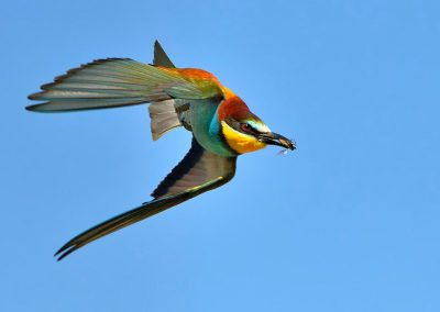 Abejaruco / bee-eater, Spain.