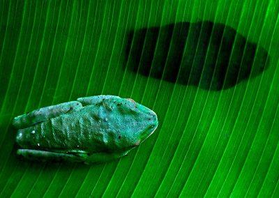Rana ojos rojos /red-eyed tree frog, Tortuguero, Costa Rica.