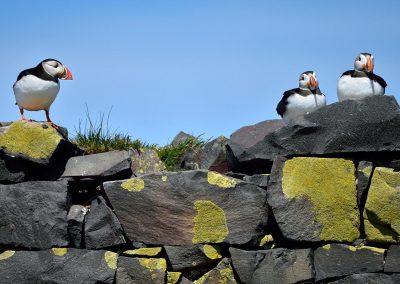 Frailecillo / puffing, Farne Islands, England.