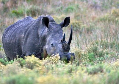 Rinoceronte negro / Black rhinoceros, South Africa.