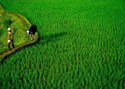 Arrozal / Rice cultivation, Indonesia.