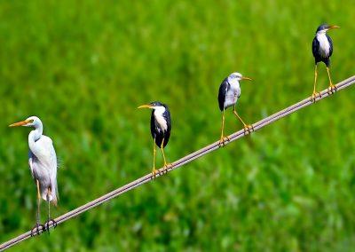 Aves / birds, North Territory, Australia.