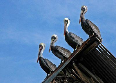 Pelicano / pelican, Guatemala.