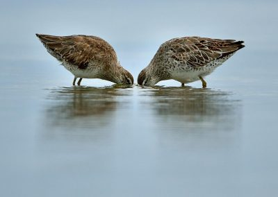 Costurero / sandpipers, Florida, USA.