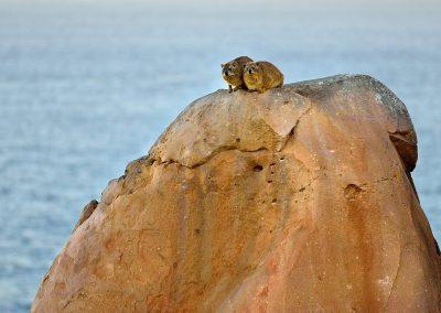 Rata de las rocas / Daisy rat, South Africa.