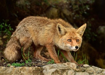 Zorro iberico / iberian fox, Spain.