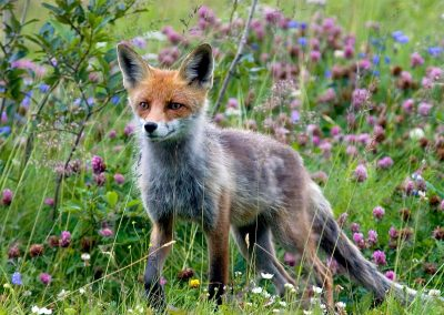 Zorro de los Carpatos / Carpathian fox, Slovenia.