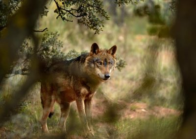 Lobo iberico / iberian wolf, Spain.
