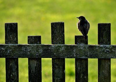 Gorrion / sparrow, England.