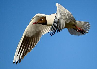 Gaviota reidora / Laughing gull, Tablas Daimiel, Spain