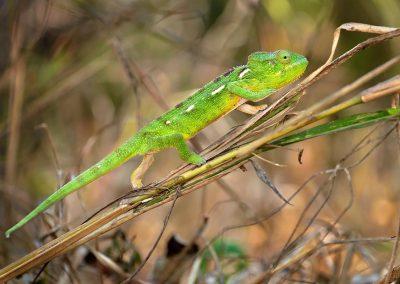 Camaleón / chameleon, Madagascar.