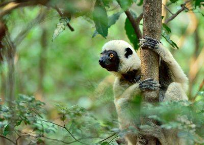 Lemur sifaka, Madagascar.