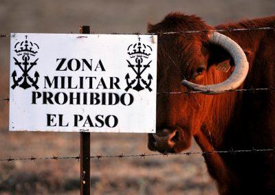 Vaca, cow, Cadiz, Spain.