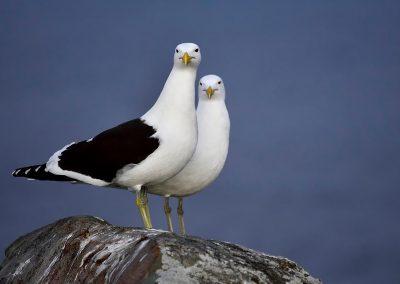 Gaviota, seagull, South africa.