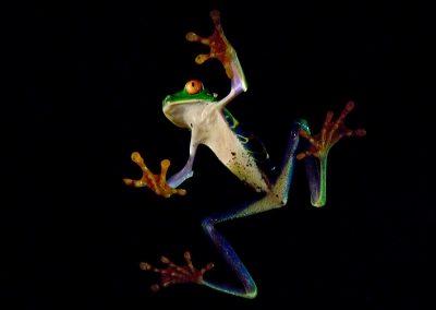 Rana ojos rojos / red-eyed tree frog, Monteverde, Costa Rica.