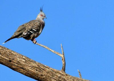 Paloma crestada / crested pigeon, Australia.