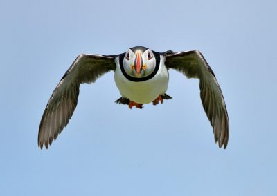 Frailecillo / Puffing, Farne Islands, UK