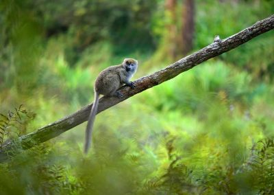 Lemur, Andasibe, Madagascar