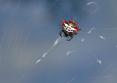 Araña / spider, Victoria, Australia.