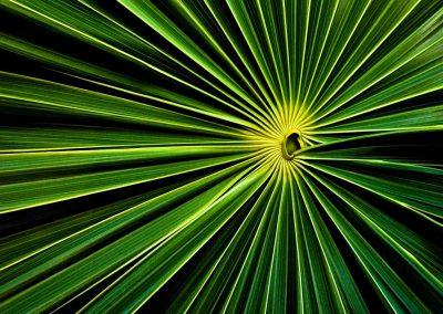 Hoja de palmera / palm leaf, Cayo Caulker, Belice.