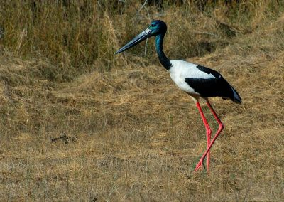 Cigüeña cuello negro, Black-necked stork, Kakadu National Park, Australia.