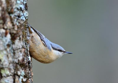 Trepador azul /nuthatch, El Escorial, Spain.