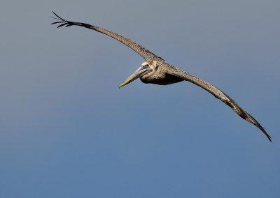 Pelicano rojo / red pelican, Florida, USA.