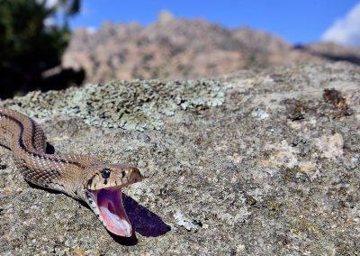 Culebra de escalera / stair snake, La Pedriza, Spain.