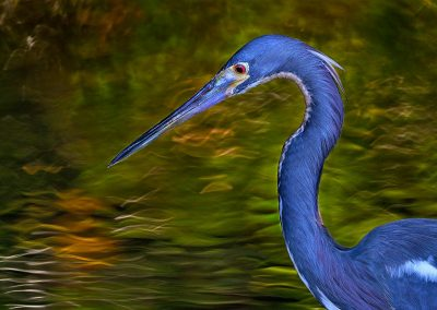 Garceta tricolor / Tricolored heron, Florida, USA.