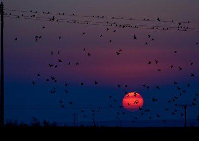 Estornino / starling, Spain.