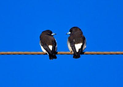 Golondrina / swalow, Northern Territory, Australia.
