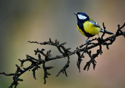 Carbonero (parus major), El Escorial, Spain.