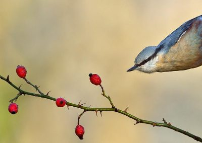 Trepador azul /  nuthatch, El Escorial, Spain.