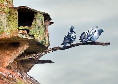 Paloma romana / roman pigeon, Mallorca, Spain.