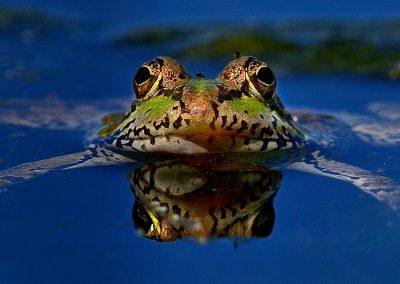 Rana común / frog, Parque Sureste, Spain.
