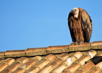 Buitre Leonado / griffon vulture, Cadiz, Spain.