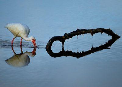 Ibis blanco / White Ibis, Florida, USA.