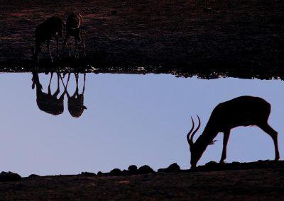 Gacela / gazelle, Etosha Park, Namibia.