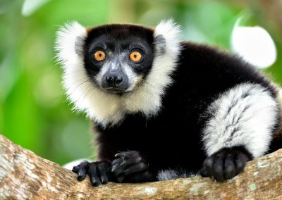 Lemur de collar / Black and white ruffed lemur, Andasibe, Madagascar