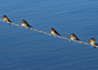 Golondrina daurica / Welcome swallow, Australia.