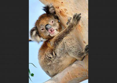 Koala, Victoria, Australia.