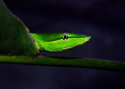 Bejuquilla Verde, Monteverde, Costa Rica.