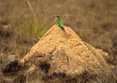 Abejaruco / bee-eater, Madagascar.