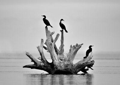 Cormoran, Everglades National Park, Florida, USA.