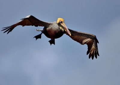 Pelicano rojo / red pelican, Everglades National Park, Florida, USA.