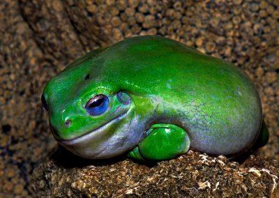 Green frog, Australia.