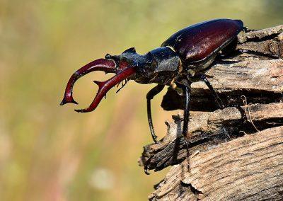 Ciervo volante / stag-beetle, Extremadura, Spain.