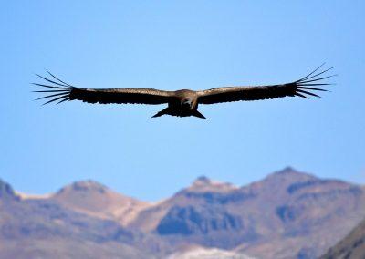 Condor, cordillera de los Andes, Perú.